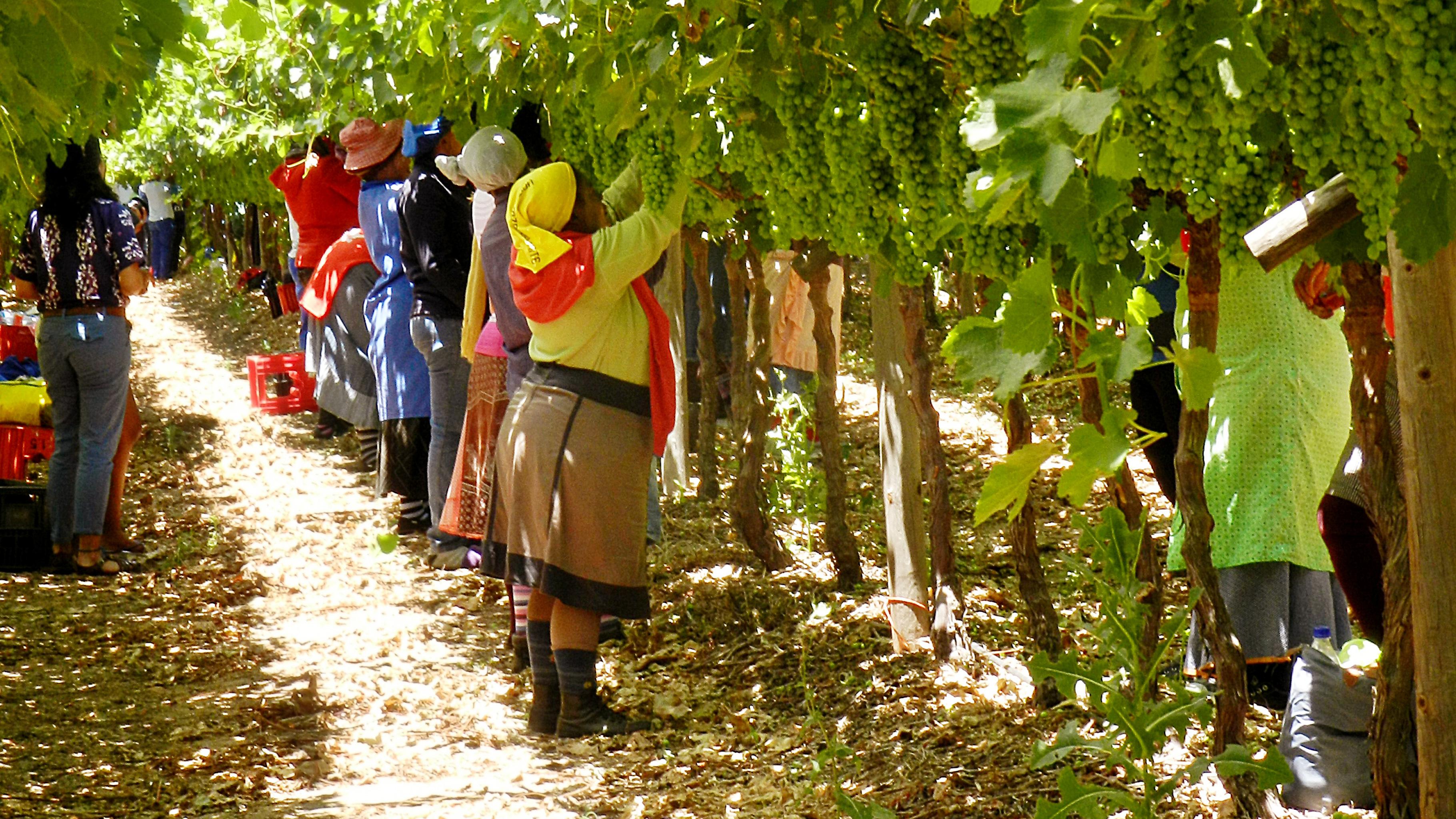 Frauen arbeiten auf einer Weinplantage