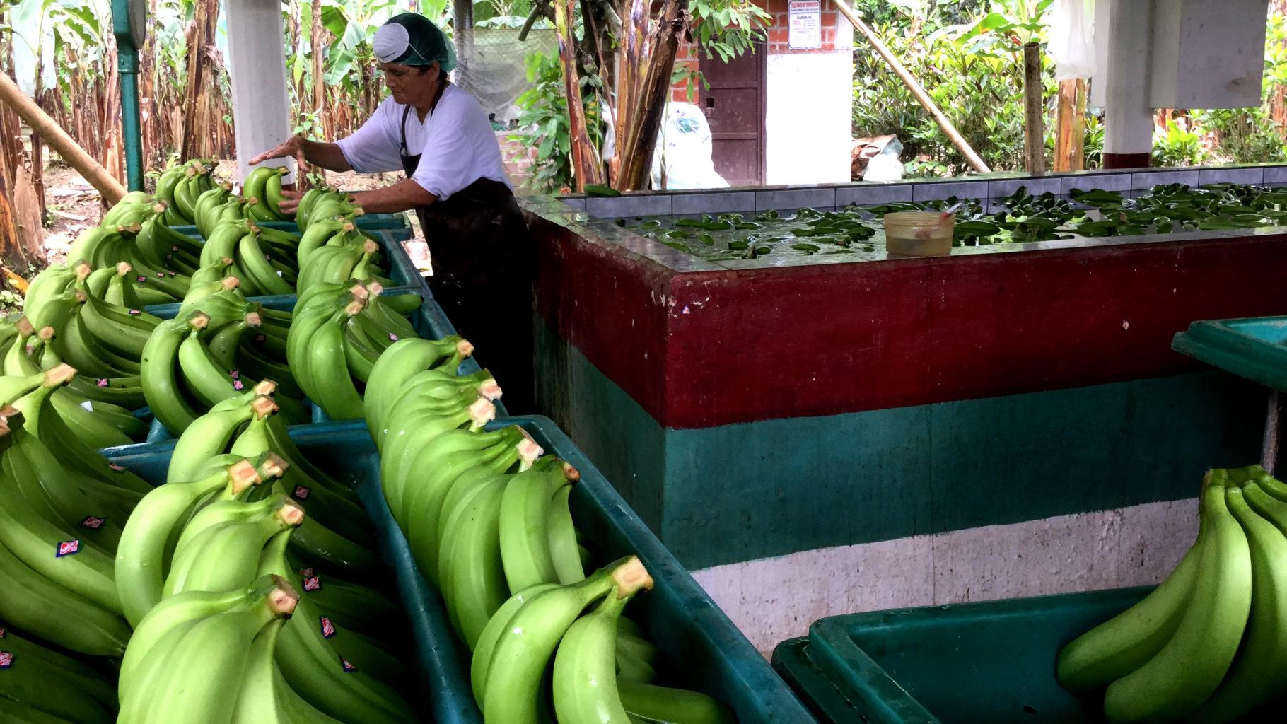 Eine Arbeiterin auf einer Bananenplantage in Ecuador.